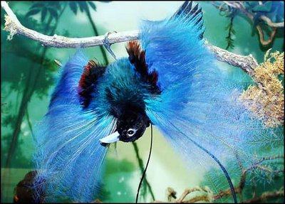 http://wyatthough.files.wordpress.com/2009/04/blue-bird-of-paradise.jpg?w=499&h=306